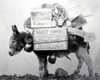 Burro loaded with mining supplies, crates labeled with &quot;Nitro Glycerine, Explosive!&quot; and &quot;Giant Powder, Dangerous, Handle With Care!&quot; Back of photo features caption &quot;I helped build Pikes Peak RR myself.&quot; H08016